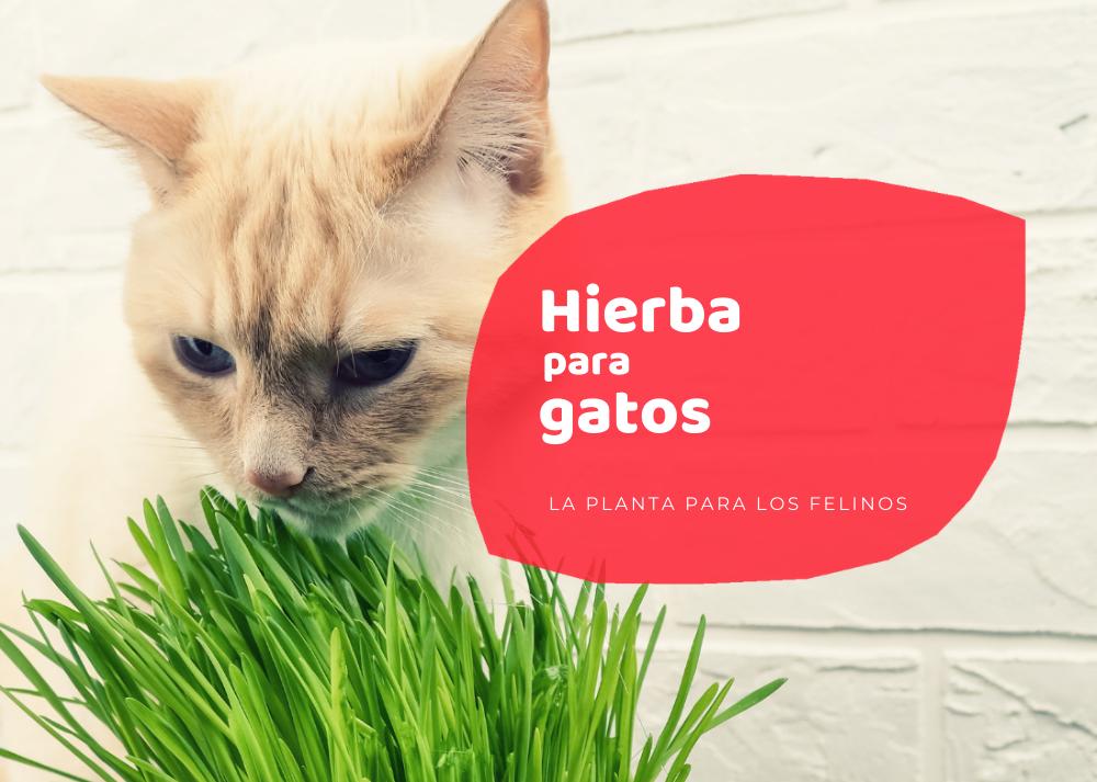 Hierba de gatos